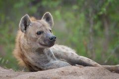 Une hyène repérée de repos sur un monticule Photos stock
