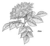Une illustration plus ancienne de fleur, dessin, gravure, encre, schéma, vecteur illustration libre de droits