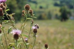 Une image capturée avec le bokeh gentil dans la nature, avec une abeille et quelques fleurs colorées, dans Baden-Baden, l'Allemag image stock