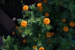 Une image d'erecta de Tagetes de souci africain photo libre de droits