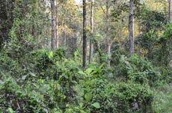 Une image d'une forêt à feuilles persistantes tropicale Images libres de droits