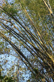 Une image d'une plantation en bambou Photos libres de droits