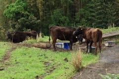Une image d'une vache Image stock