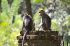 Une image de deux singes de Macaque de capot Photographie stock libre de droits
