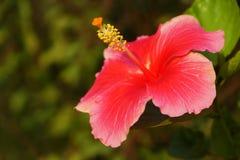 Une image de Rosa-Sinensis Images libres de droits