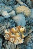 Haut étroit de corail Image libre de droits