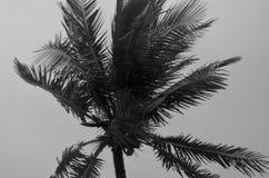 Une image noire et blanche le du dessus d'un arbre de noix de coco balançant dans une tempête image stock