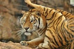 une jambe de recourbement de tigre de sommeil Image libre de droits