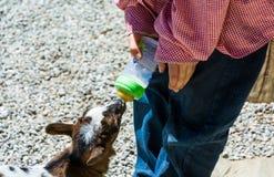 Une jeune chèvre boit du lait de la bouteille images stock