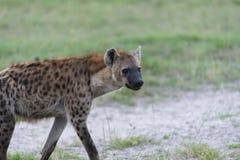 Une jeune hyène sur le mouvement (5) photographie stock libre de droits