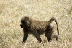 Une jeune marche de babouin Photographie stock libre de droits