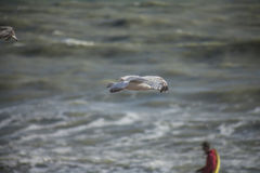 Une jeune mouette et les eaux de la mer Photographie stock libre de droits