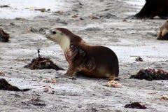 Une jeune otarie sur la plage à la baie de joint dans l'Australie Photographie stock