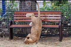Une jeune pièce de lion image stock