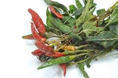 Une jeune plante de piment a mis pour sécher 013 Image stock