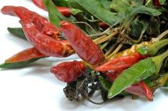 Une jeune plante de piment a mis pour sécher 09 Images libres de droits