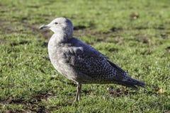 Une jeune position grise de mouette sur l'herbe dans le soleil de matin photos stock