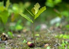 Une jeune pousse de chêne poussant d'un plan rapproché de gland sur un fond vert brouillé images libres de droits