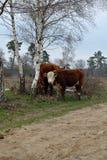 Une jeune vache rouge-brun me regarde avec son visage blanc, montagne Rijssen de Frisian images stock