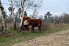 Une jeune vache se tient pr?s de sa m?re, montagne de Frisian, Rijssen photographie stock