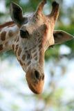 Une jolie giraffe Image libre de droits