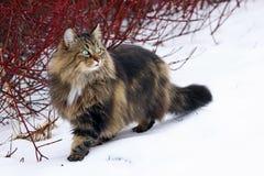 Une jolie jeune chasse norvégienne de Forest Cat dans la neige photo libre de droits