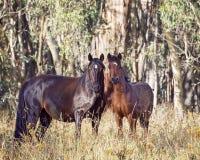 Une jument australienne de Brumby et son poulain Images stock