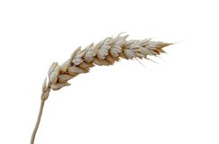 Une lame de blé Photographie stock