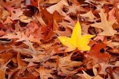 Une lame jaune d'automne dans la pile des lames de Brown Image libre de droits