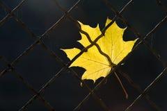Une lame tombée d'automne sur une frontière de sécurité de fil Images libres de droits