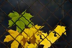 Une lame tombée d'automne sur une frontière de sécurité de fil Photographie stock