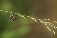 Une larve (cunea de Hyphantria) Photographie stock
