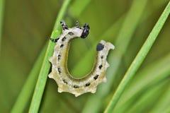 Une larve de tenthrède arquant son dos photos libres de droits