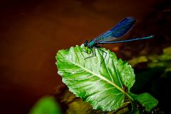 Une libellule bleue sur une feuille verte Photographie stock libre de droits