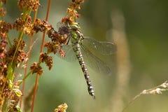 Une libellule du sud de colporteur se reposant sur une tête de graine Images libres de droits