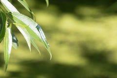 Une libellule ltiile de bleu sur un congé photo stock