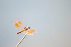 Une libellule orange tient une brindille Images stock