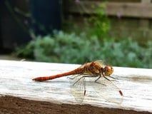 Une libellule rougeâtre brune photographie stock libre de droits