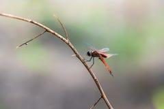 Une libellule se reposant sur une branche Images stock