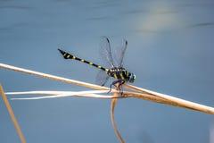 Une libellule se reposant sur une branche Photo stock