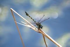 Une libellule se reposant sur une branche Photo libre de droits