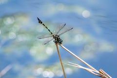 Une libellule se reposant sur une branche Photos libres de droits