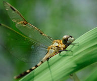 Une libellule se reposant sur l'herbe images stock