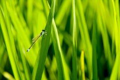 Une libellule sur le riz Photographie stock libre de droits