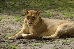 Une lionne Photographie stock
