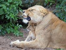Une lionne et son Cub Photo libre de droits