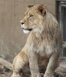 Une lionne fière image libre de droits