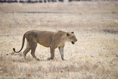 Une lionne marchant dans l'herbe dans le cratère de Ngorongoro Photo stock