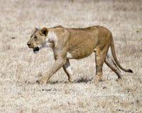 Une lionne marchant dans l'herbe dans le cratère de Ngorongoro dans un secteur de brûlure de contrôle Image libre de droits