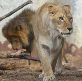 Une lionne prend l'autorité Images libres de droits